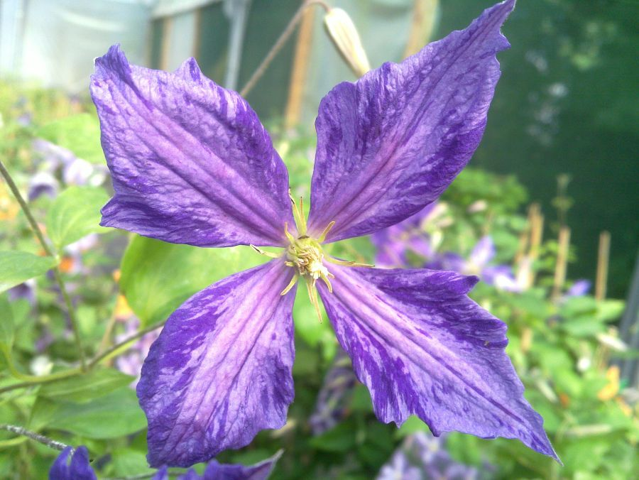 Clematis Tie Dye sometimes slightly redder in the centre