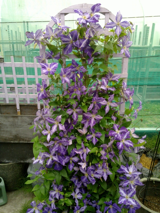 Clematis Tie Dye growing on an arch