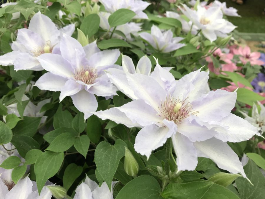Clematis Tranquilite at chelsea nice triple bloom pic