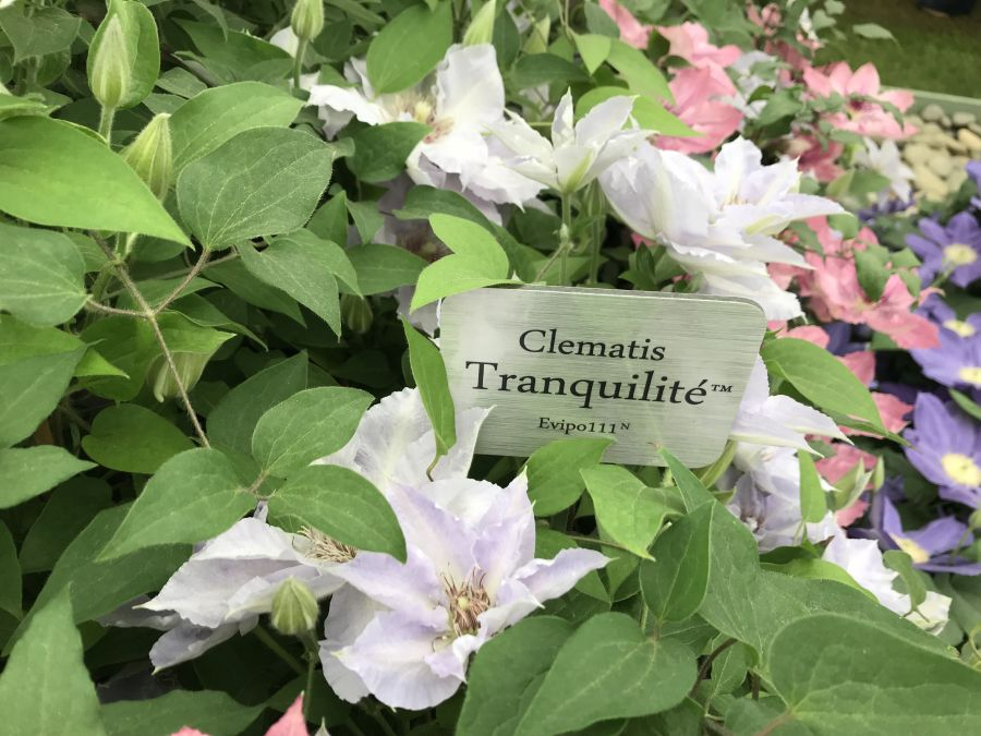 Clematis Tranquilite at chelsea on the stand