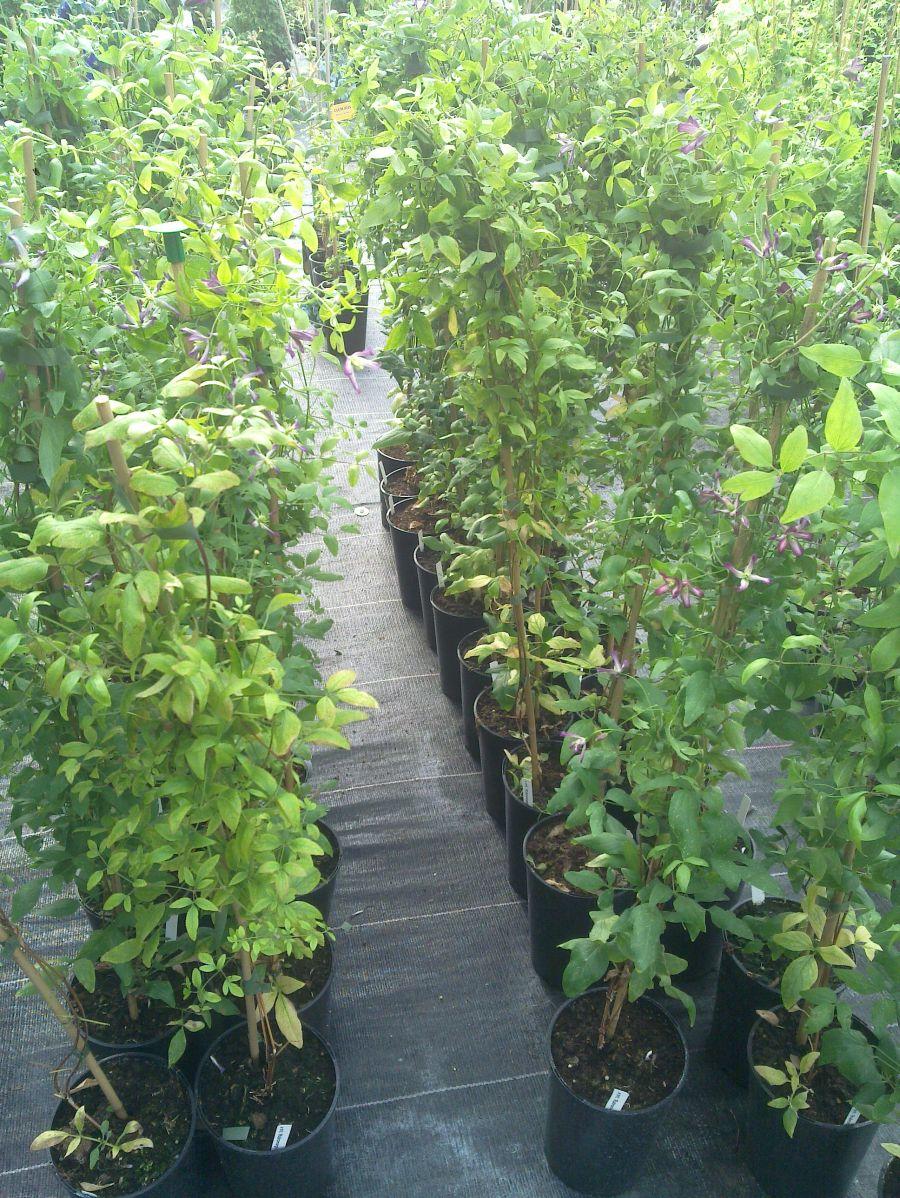 Clematis Triternata Rubromarginata sales plants