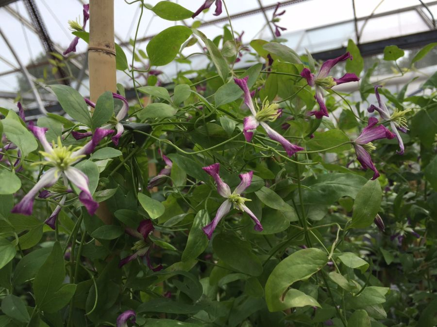 Clematis Triternata Rubromarginata heavily perfumed