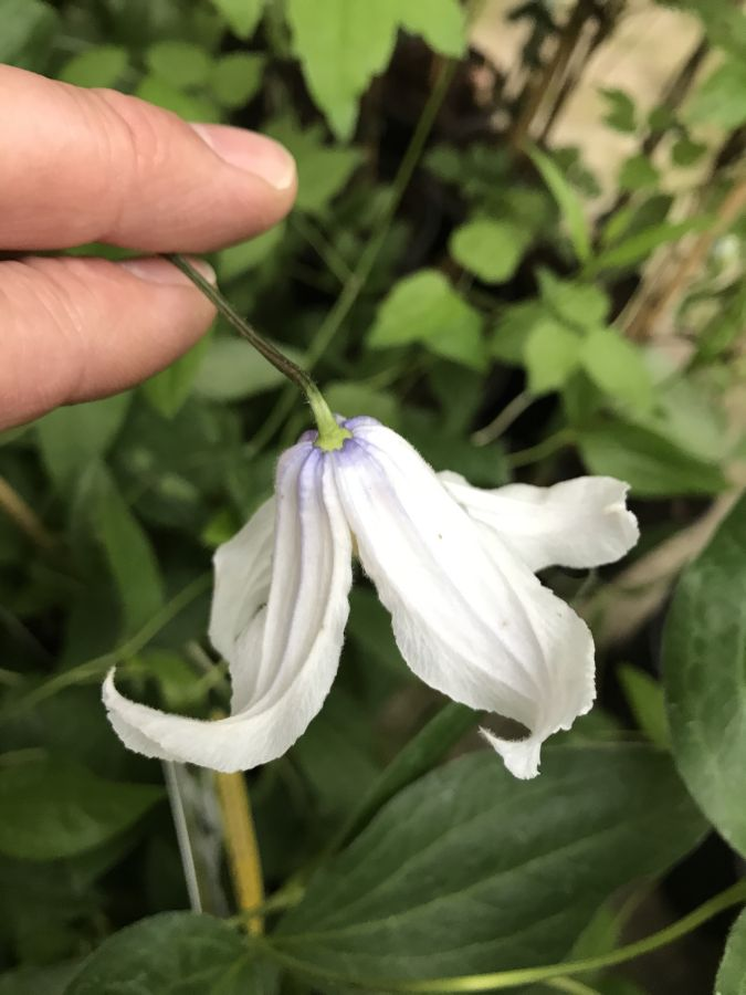 Clematis Twinkle further open sepals spreading and twisting