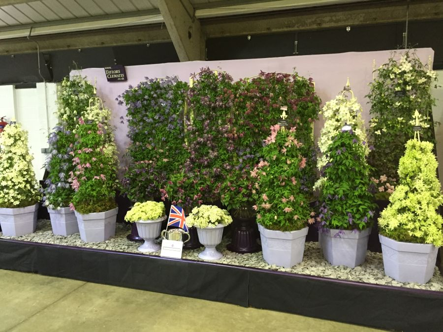 Taylors Clematis Harrogate display 2015