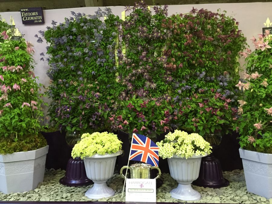 Taylors Clematis Harrogate display 2015 close up