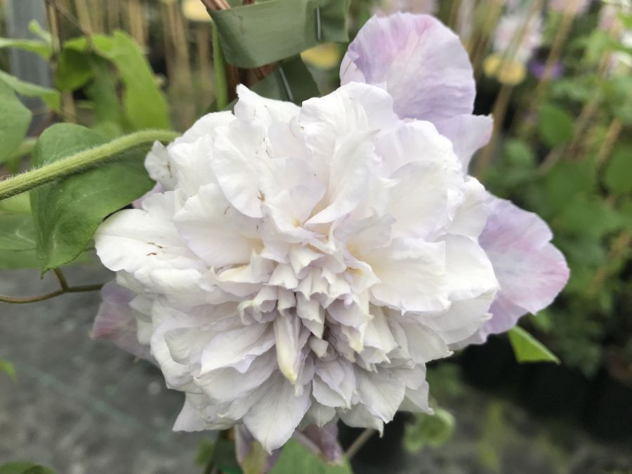 Clematis Veronicas Choice fully double just opening