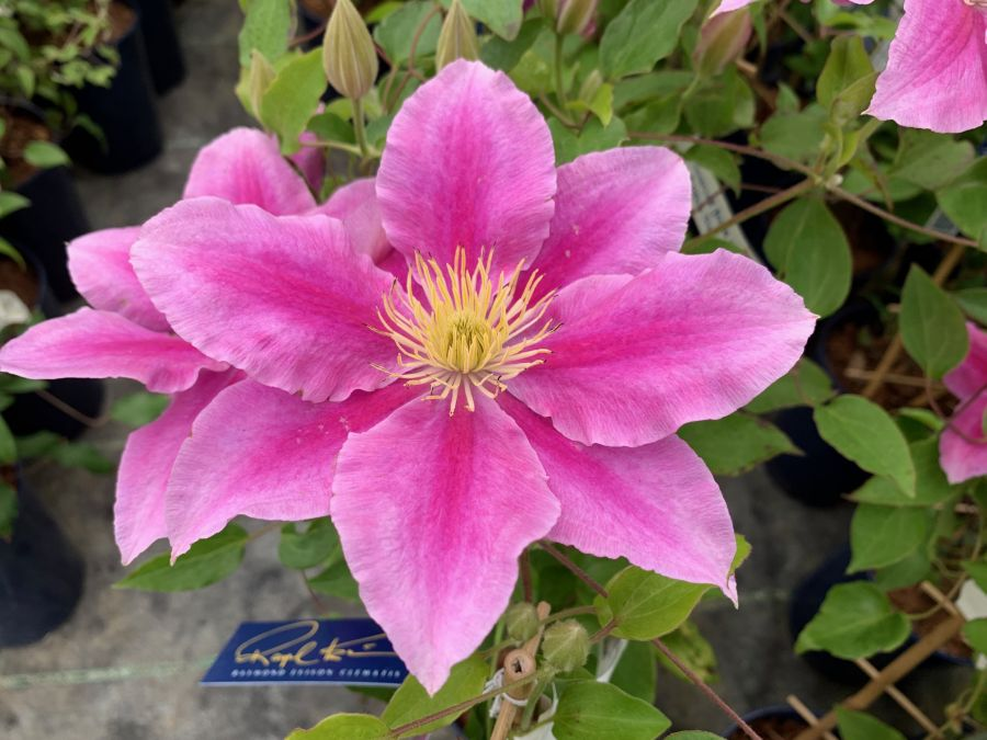Clematis Vicki Smith fully open single form