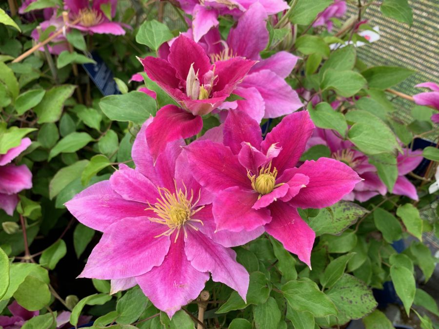 Clematis Vicki Smith just opening