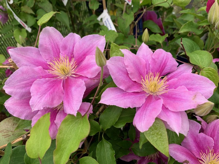 Clematis Vicki Smith nice pair of semi doubles