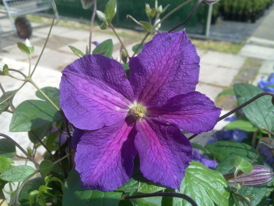 Clematis Victoria fully open