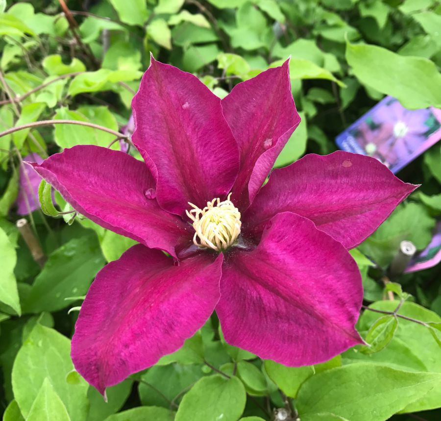 Clematis Vino single bloom
