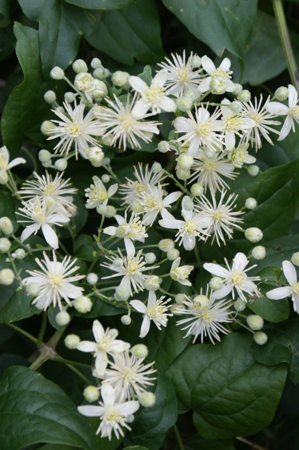 Clematis Vit alba, travellers joy, old mans beard great shot