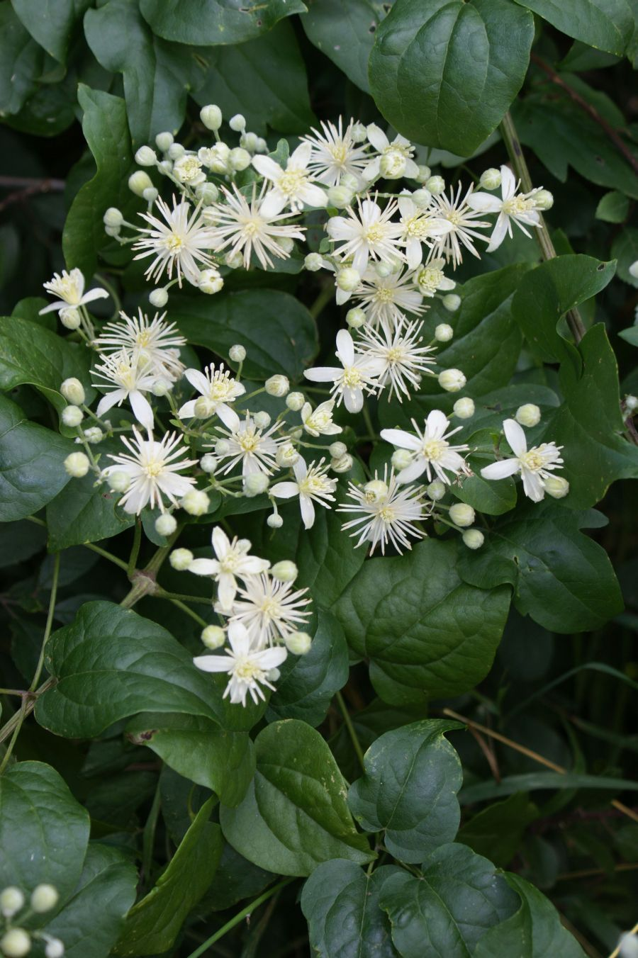 Clematis Vit alba, travellers joy, old mans beard clump of flower