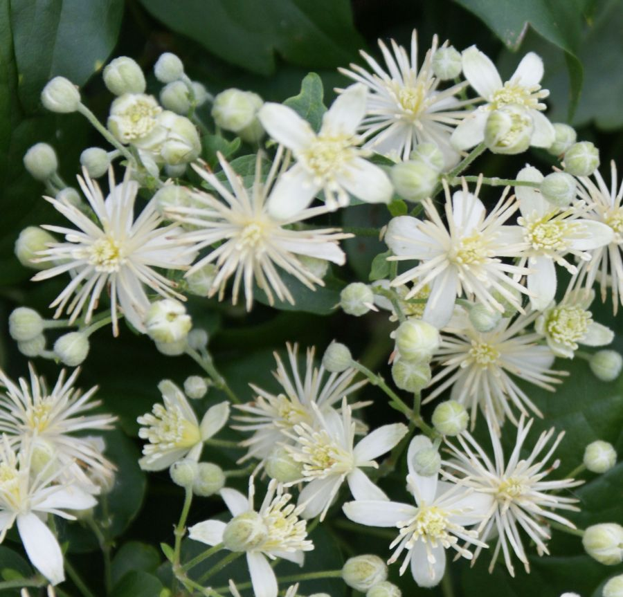 Clematis Vit alba, travellers joy, old mans beard close up