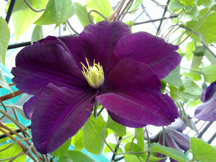 Clematis Warsaw Nike close up