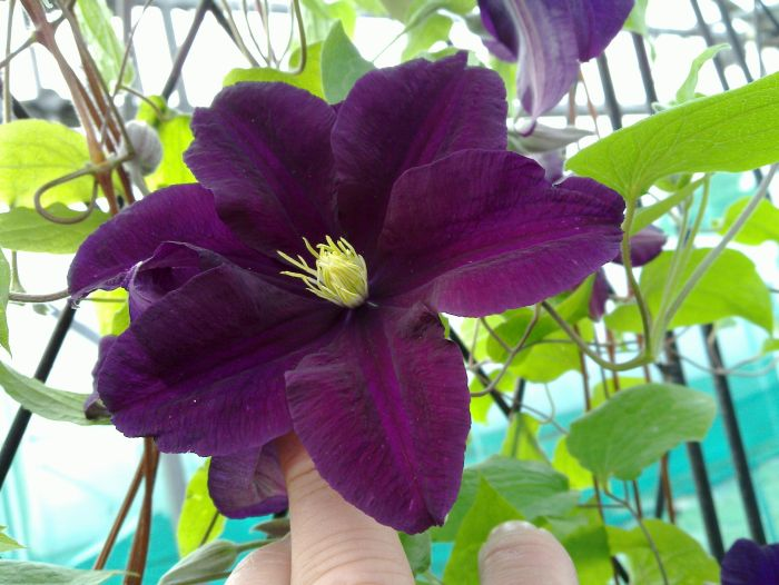 Clematis Warsaw Nike rich velvet colour