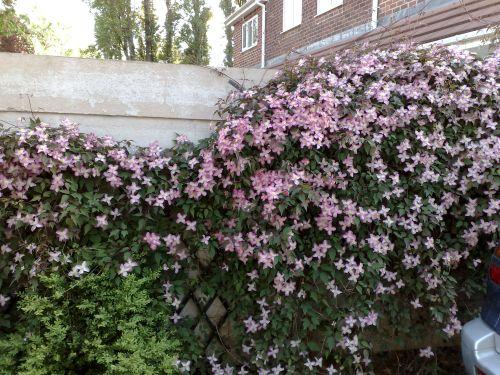 Clematis Montana Warwickshire Rose flowers everywhere