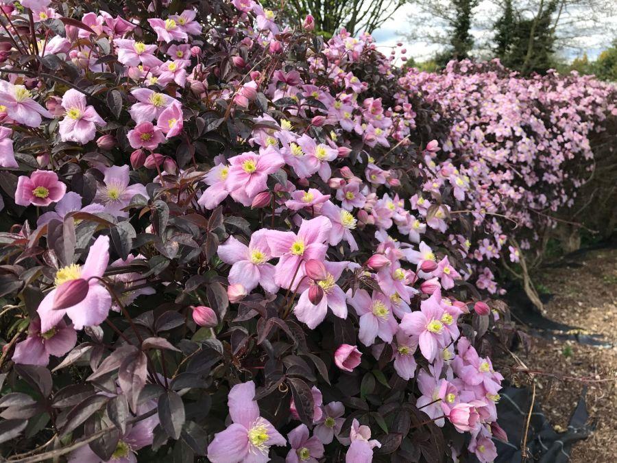 Clematis Montana Warwickshire Rose further along