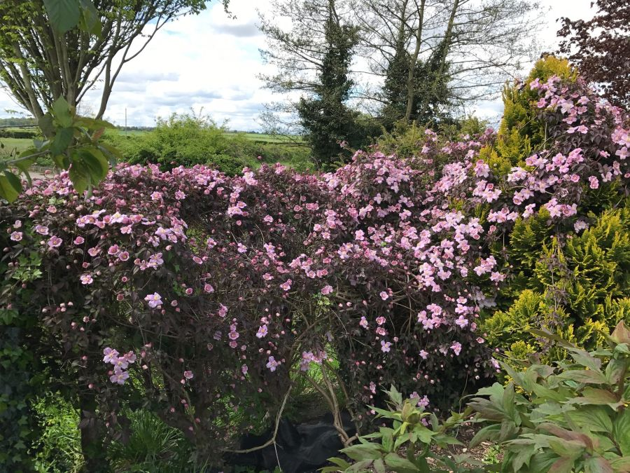 Clematis Montana Warwickshire Rose at the end