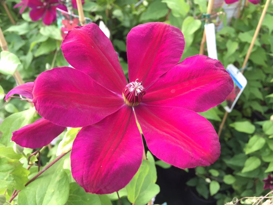 Clematis Westerplatte fully open
