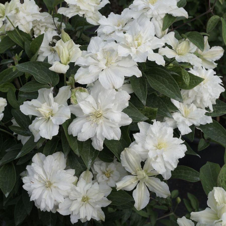 clematis White Arabella