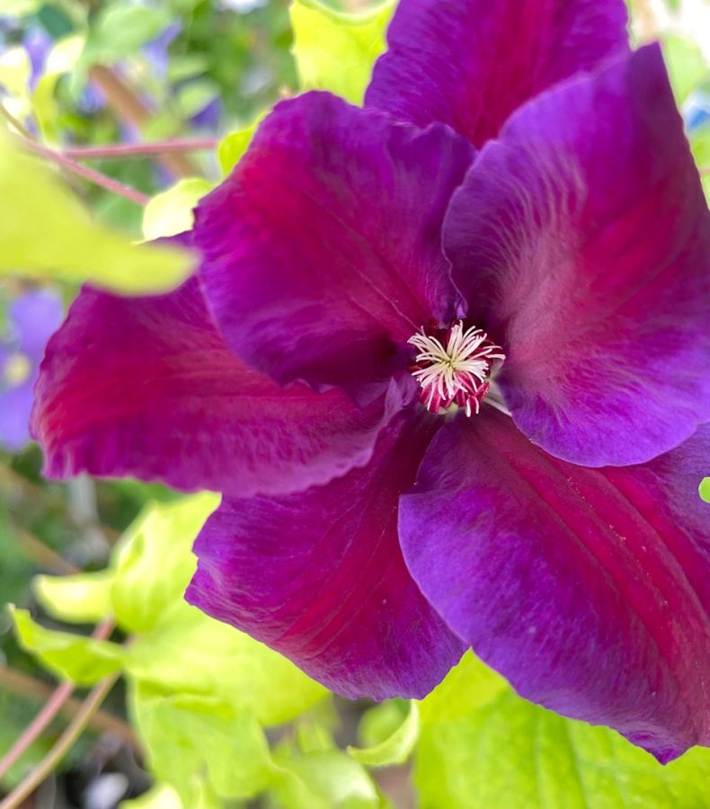 clematis Wildfire freshly opening flower
