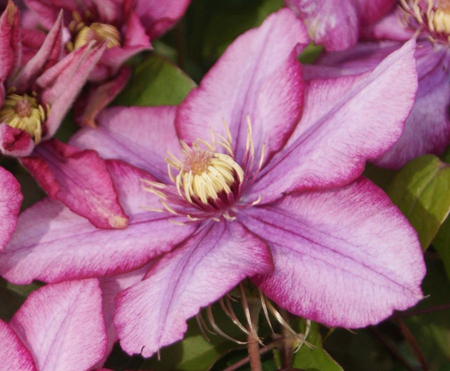 Clematis Paradiso close up