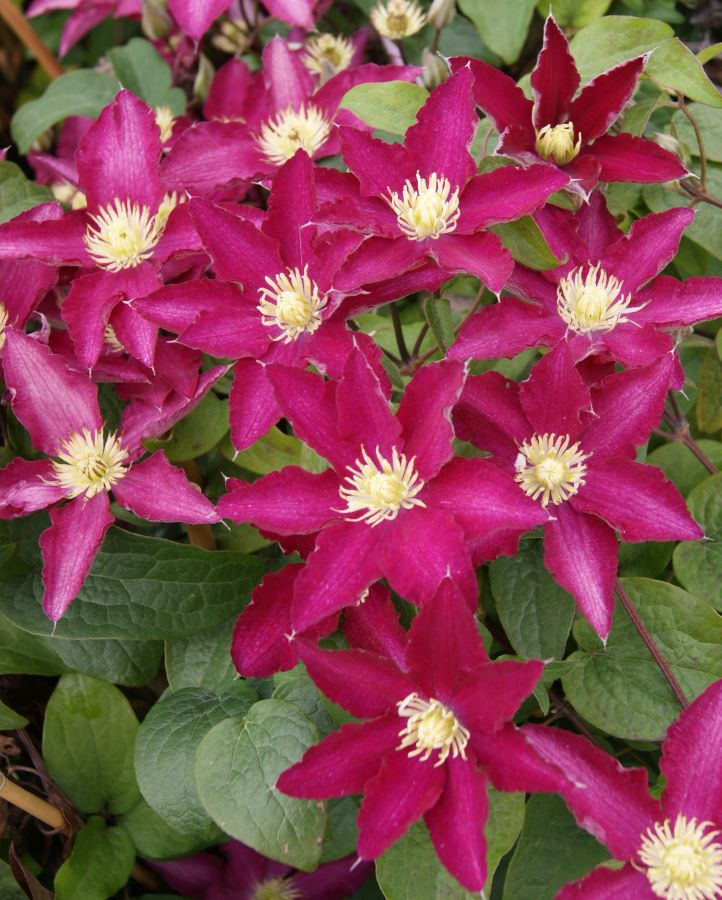 Clematis so many red flowers mass