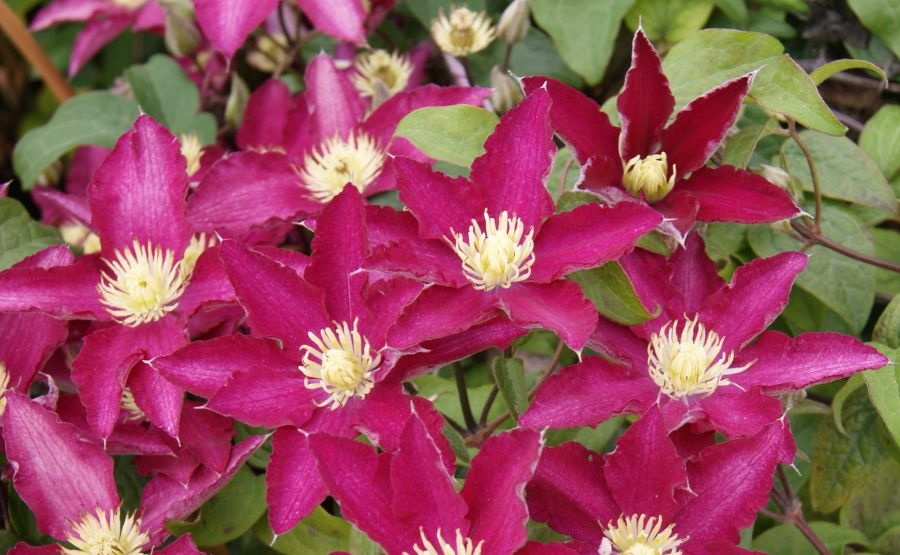 Clematis so many red flowers group