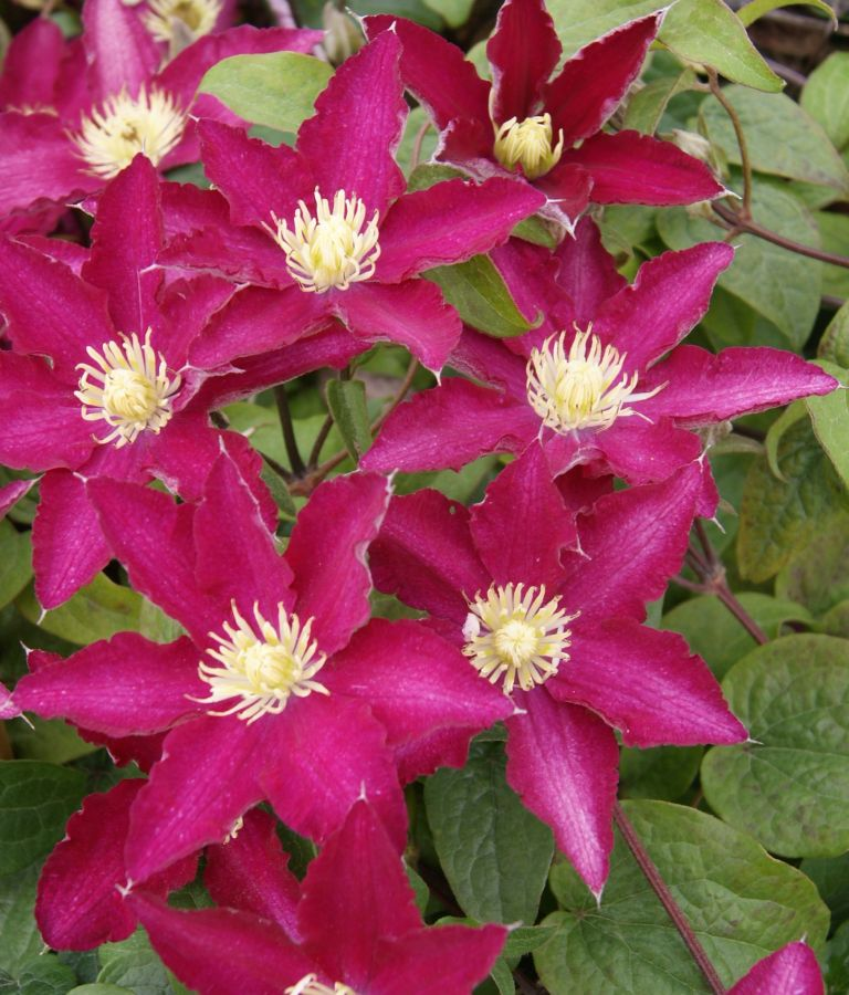 Clematis so many red flowers close up