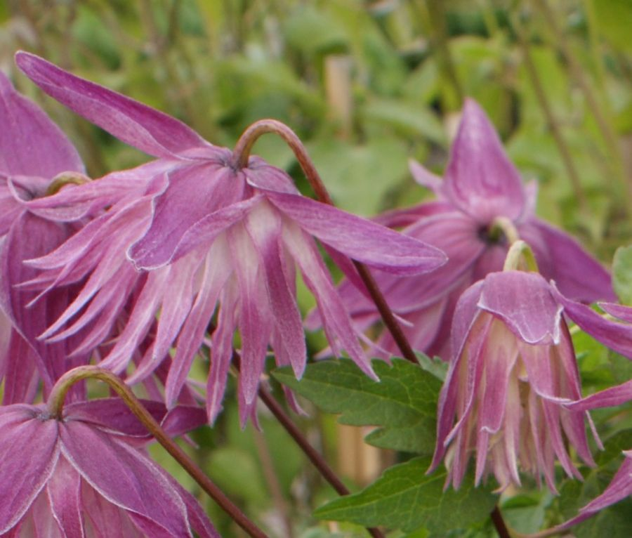 Clematis Sorbet great nodding pair