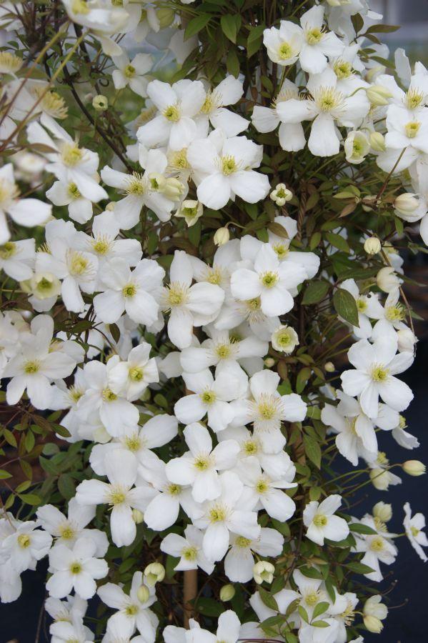 Clematis montana Spring Joy mass shot