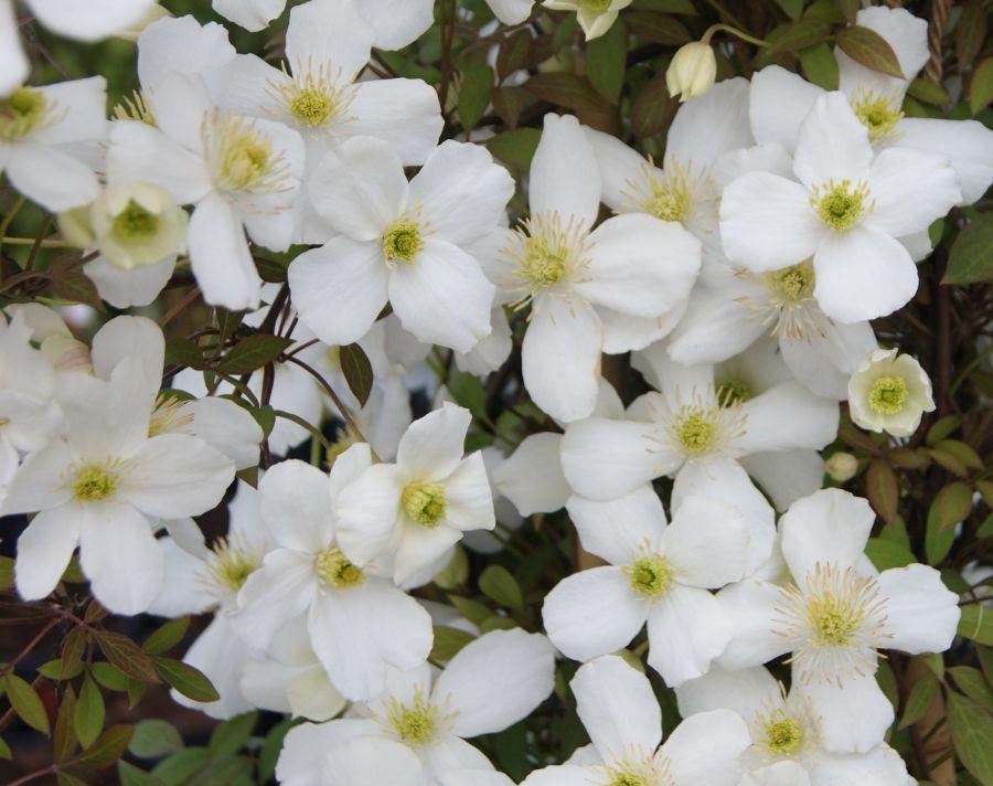Clematis montana Spring Joy nice white blooms
