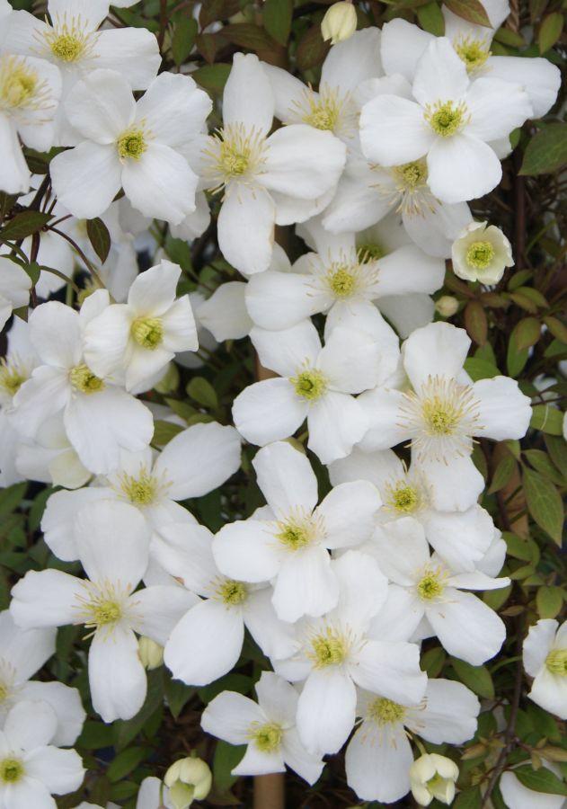 Clematis montana Spring Joy