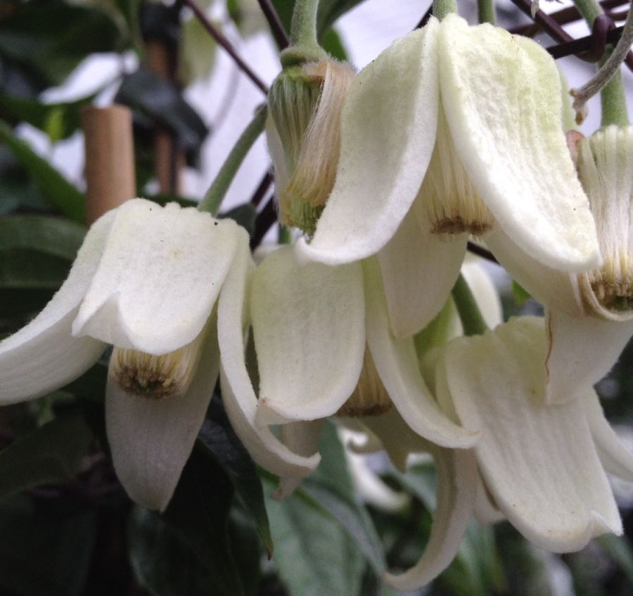 Clematis Winter Beautynice nodding heads