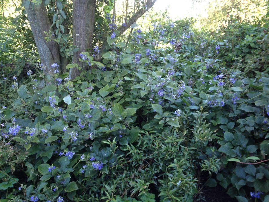 Clematis Wyevale under the apple tree