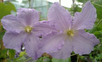 Taylors Clematis: Blekitny Aniol