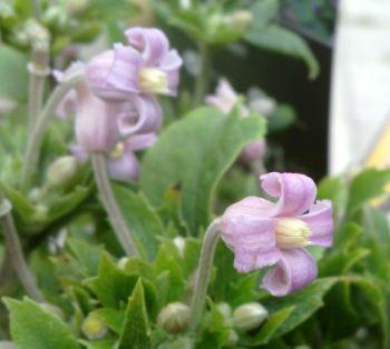 Taylors Clematis: heraclefolia