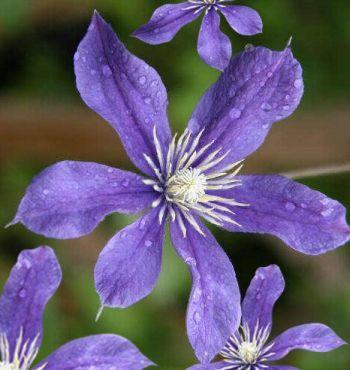Taylors Clematis: diversifolia Arabella