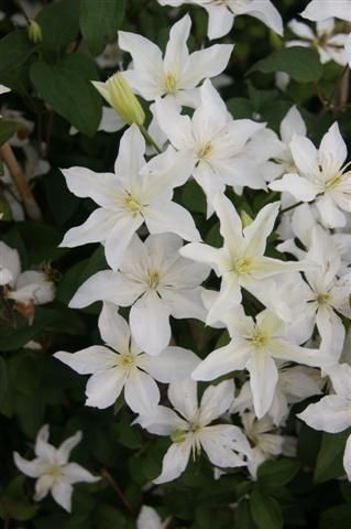 Taylors Clematis:  Baby Star
