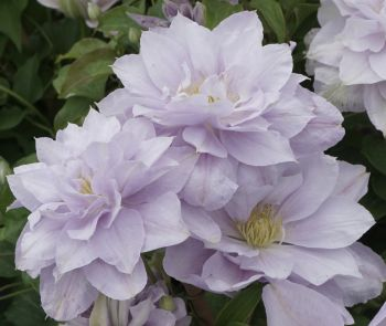 Taylors Clematis:  Bellissima
