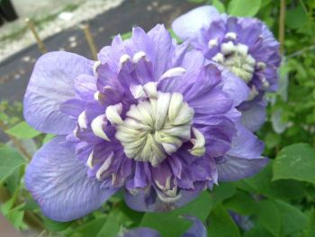 Taylors Clematis:  Blue Light