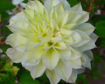 Taylors Clematis:  Delphine