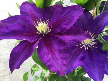 Taylors Clematis:  Duchess of Cornwall
