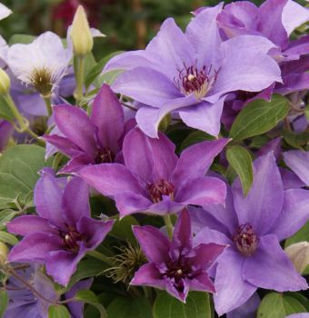 Taylors Clematis:  Esther