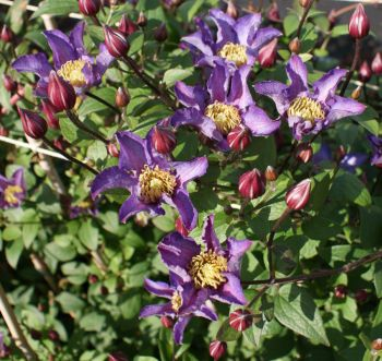Taylors Clematis:  Exciting