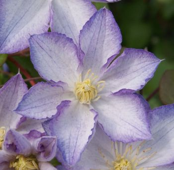 Taylors Clematis:  Lucky Charm