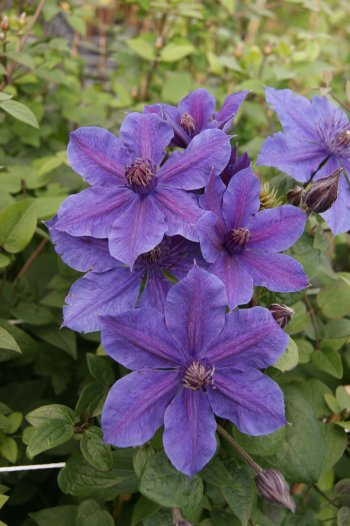 Taylors Clematis:  Mon Amour