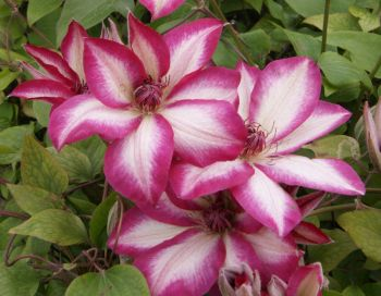 Taylors Clematis:  Picotee