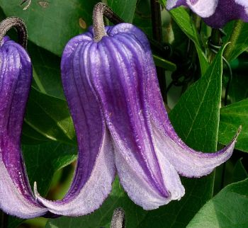 Taylors Clematis: integrifolia Rooguchi